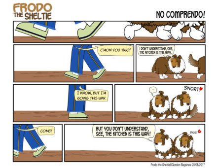 Frodo the Sheltie : No Comprendo